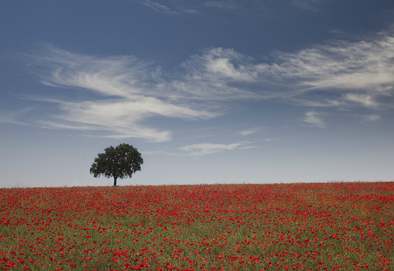 Lone tree in poppies Andalusia - European Landscape