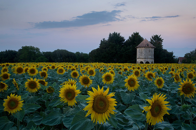 Sunflowers and pigeonnier. - European Landscape