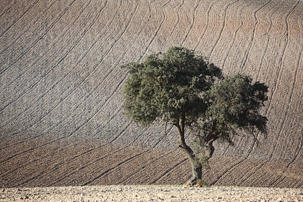 Tree and ploughed field, Cordoba. - European Landscape