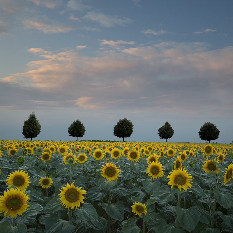 Sunflowers with line of trees - European Landscape