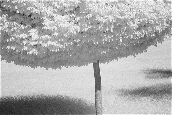 Lime Tree. - Monochrome Landscape Europe