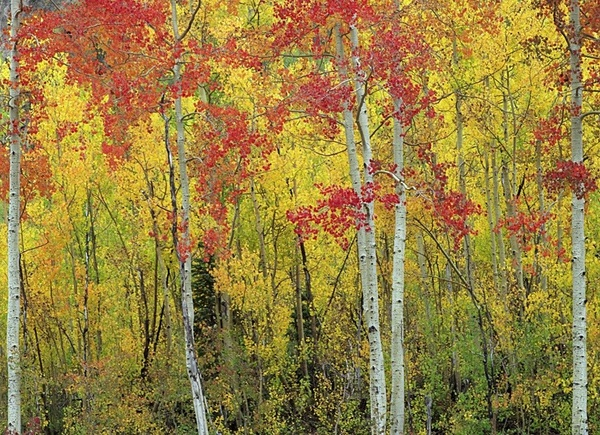Aspens, Colorado. - American Landscape