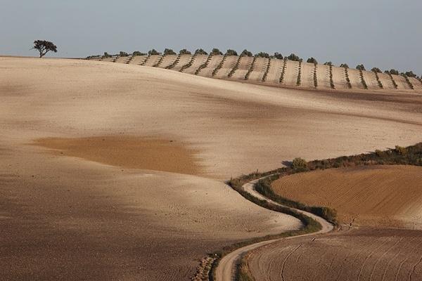 Track to olive grove, Seville. - European Landscape