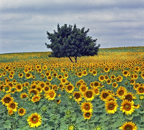 Tree and sunflowers. - European Landscape