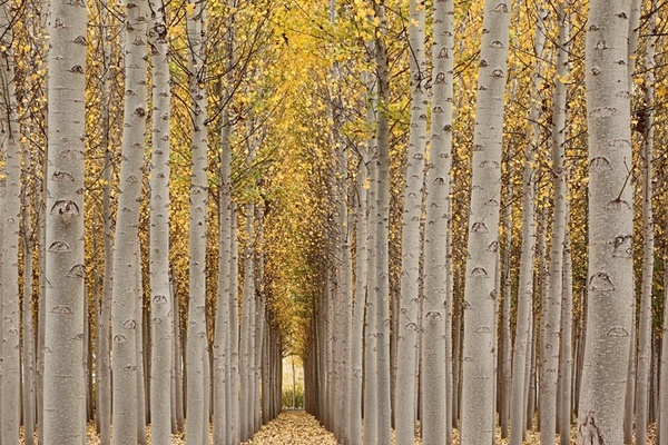 Poplars, Granada. - European Landscape