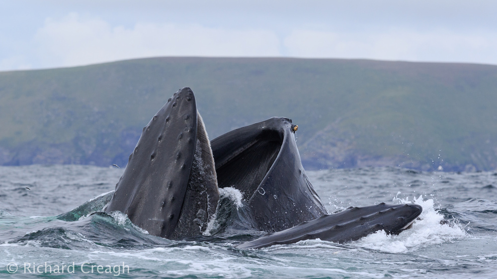 Double Humpbacks - Wild