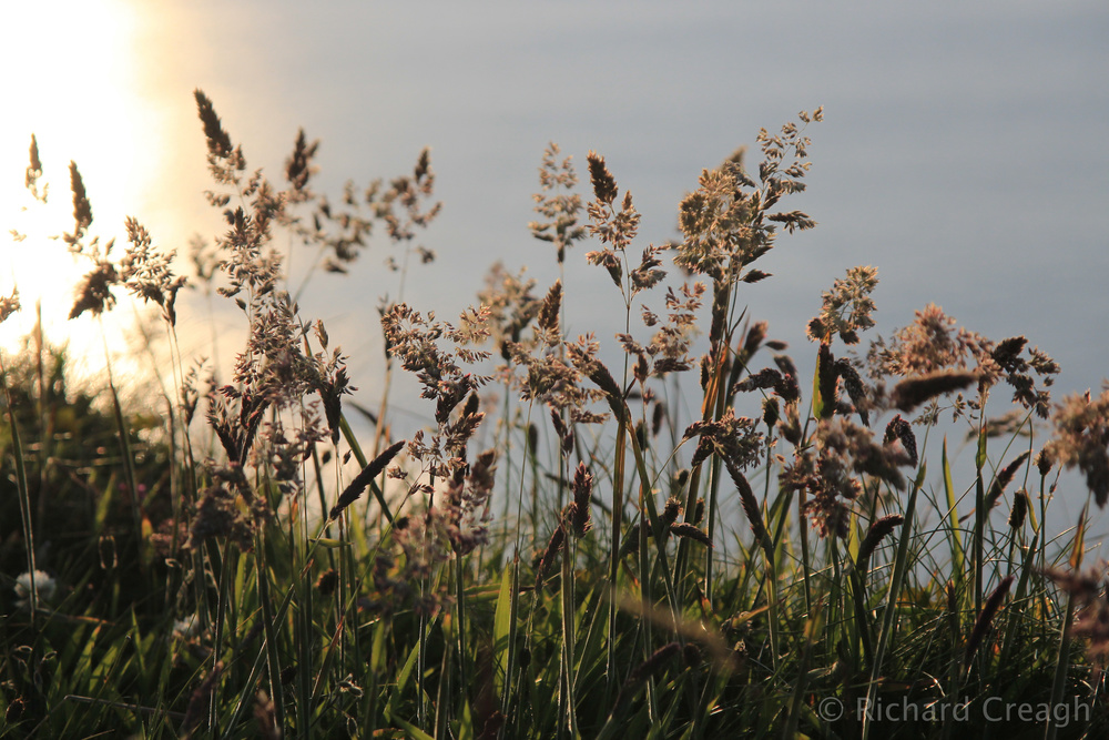 Summer Grasses - Wild