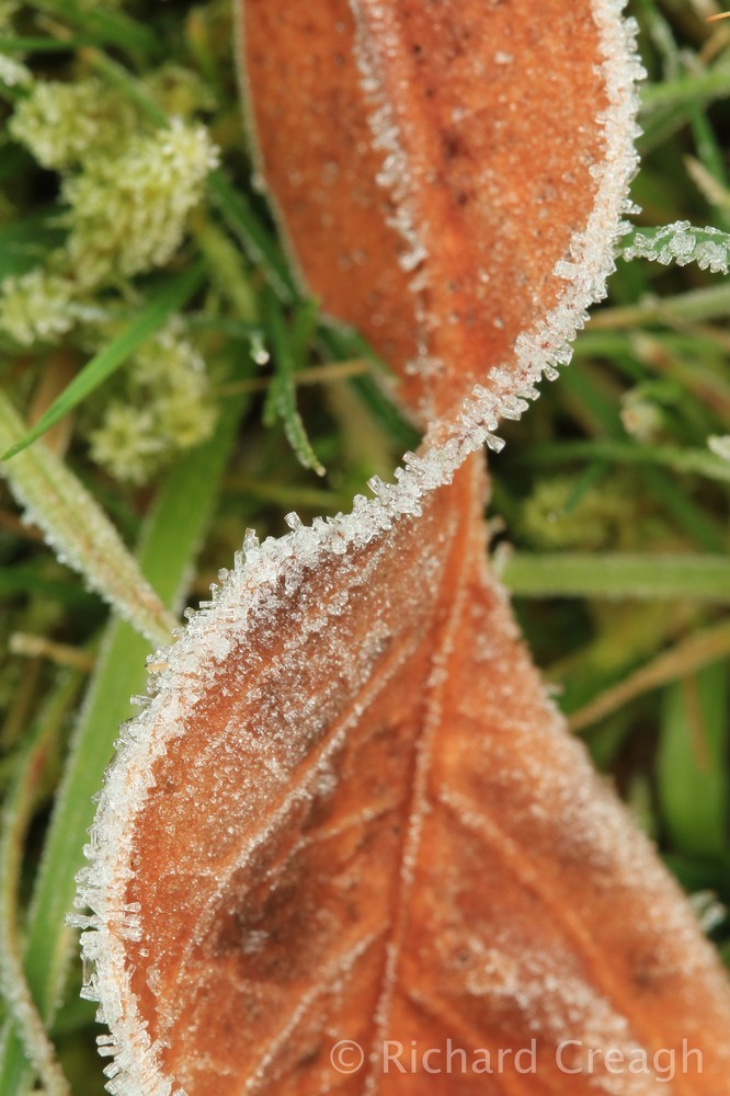 Frosted Leaf - Detail