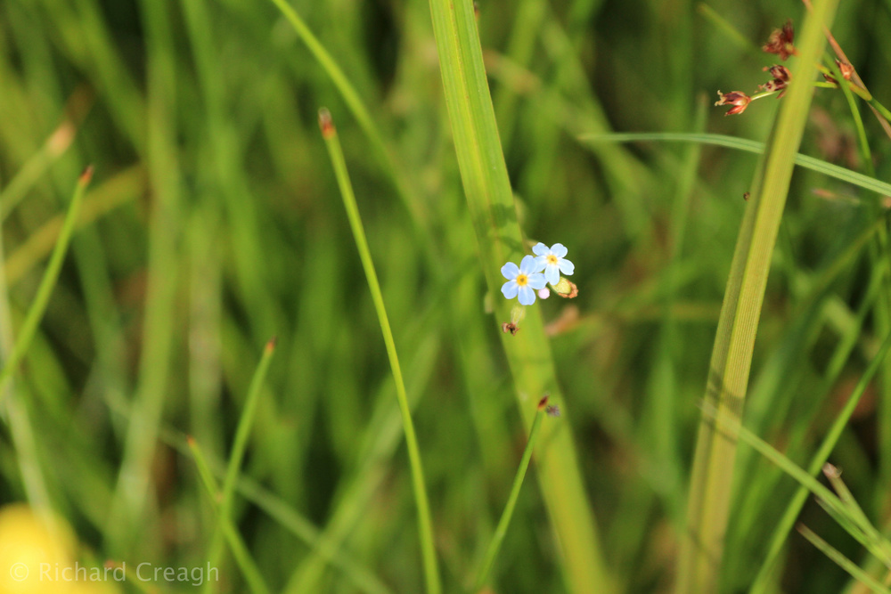 Water Forget-Me-Not - Wild