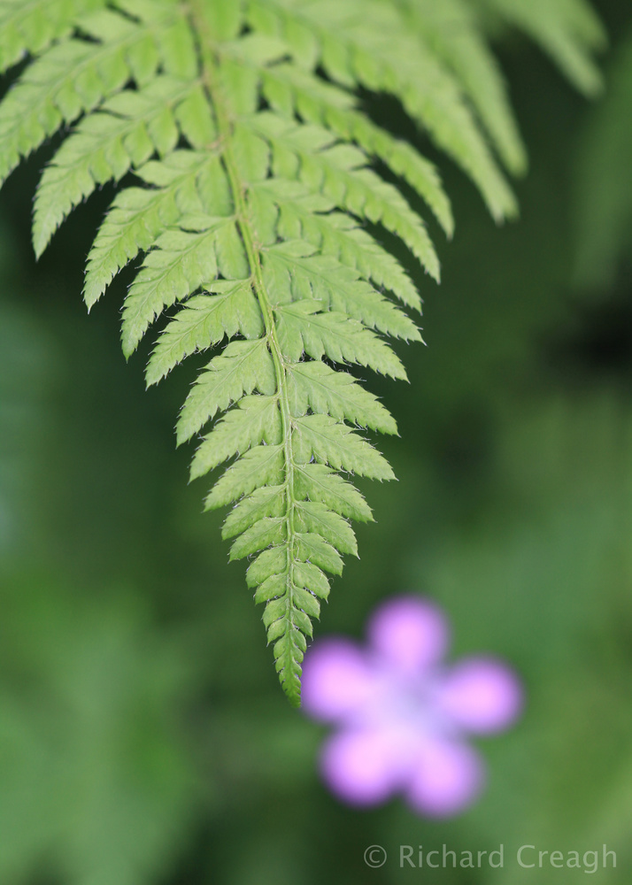 Fern and Herb Robert - Wild