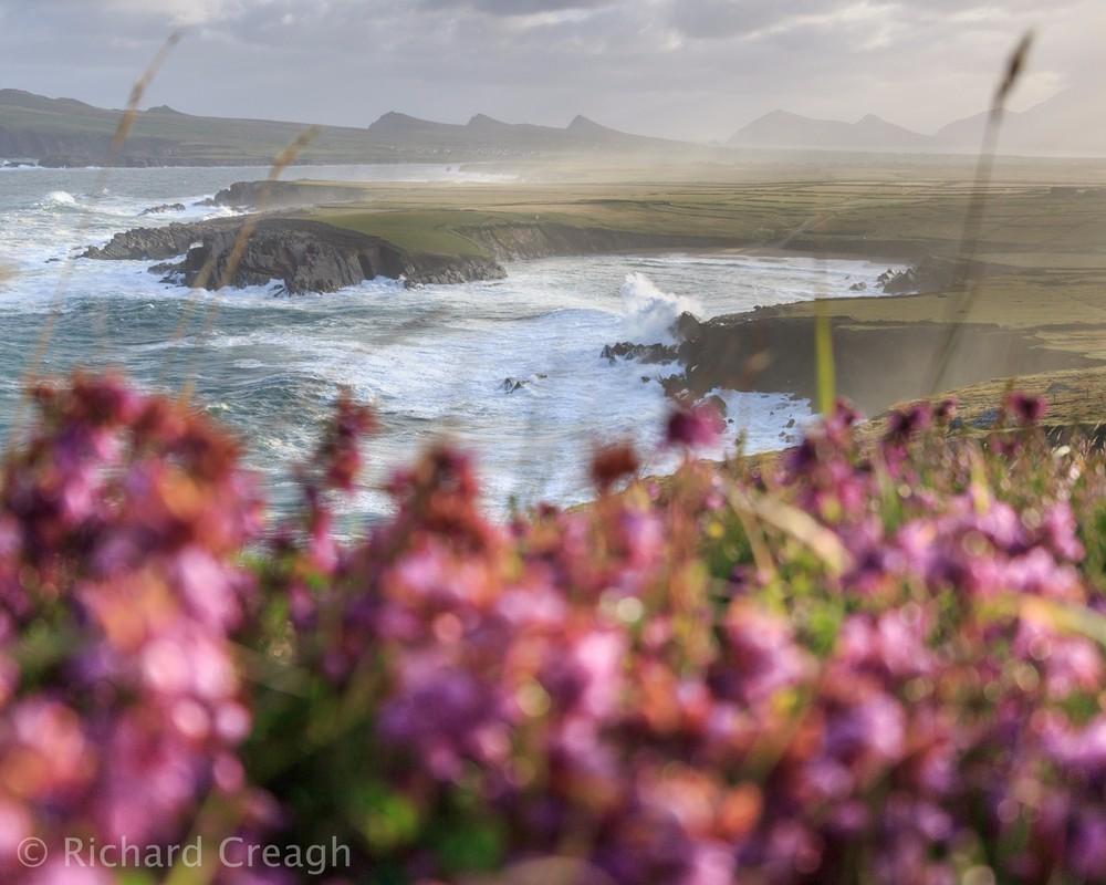 Morning Heather - Ireland