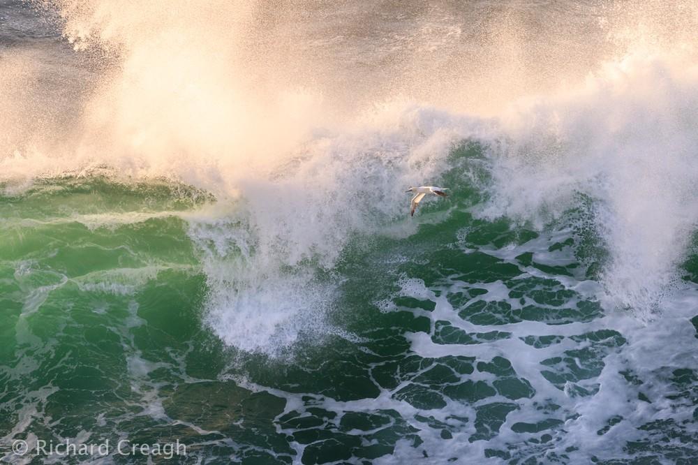 Gannet & Wave - Wild