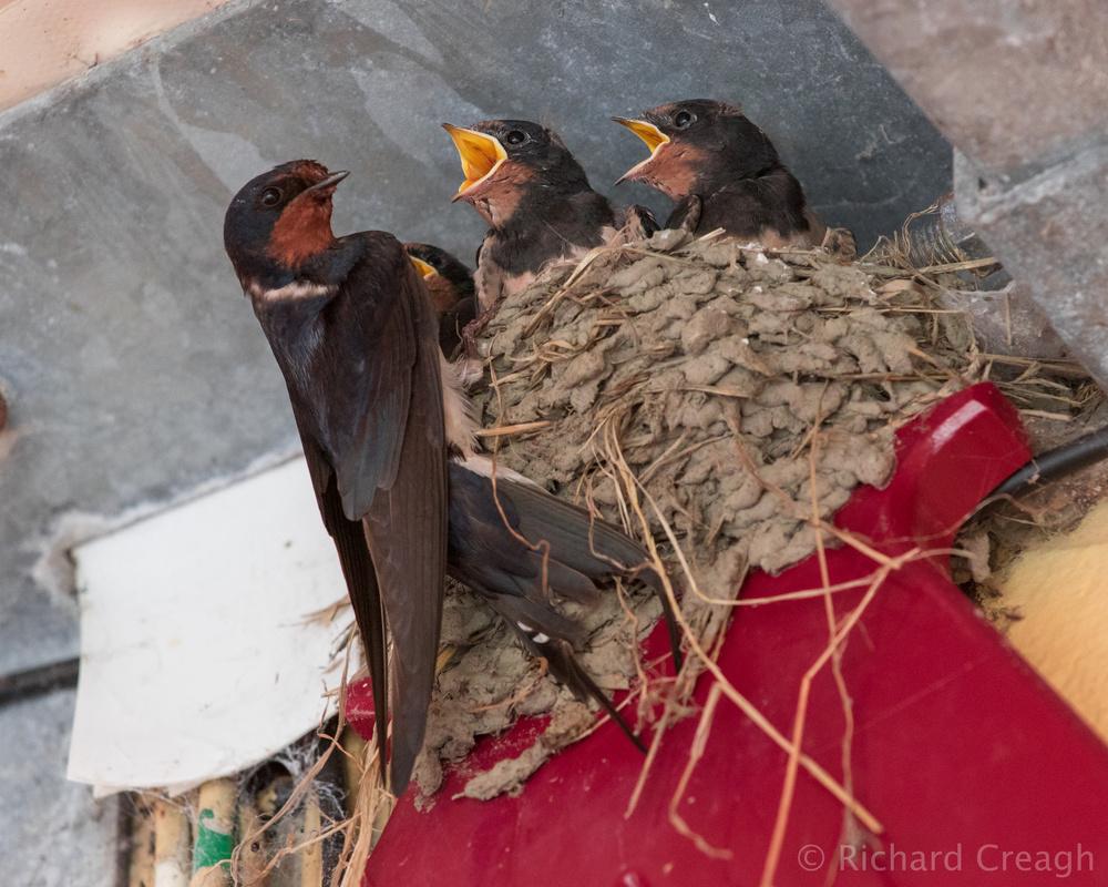 Swallows - Wild