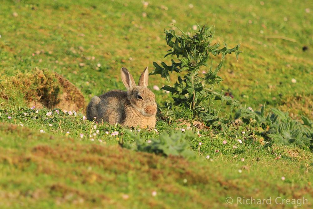 Rabbit Relaxing - Wild