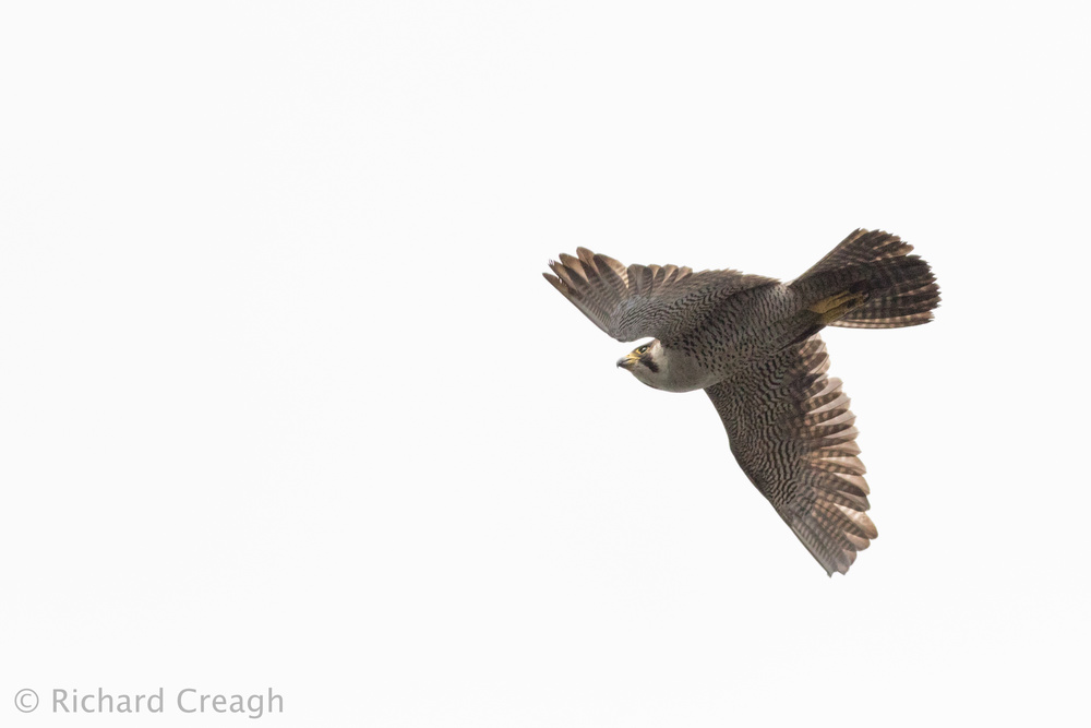 Peregrine on White - Wild
