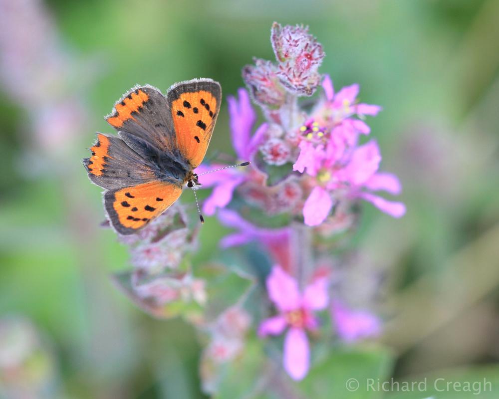 Small Copper - Wild