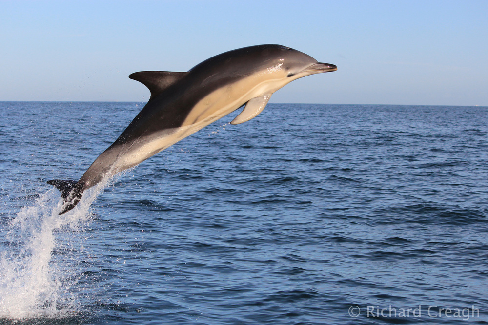 Common Dolphin - Wild