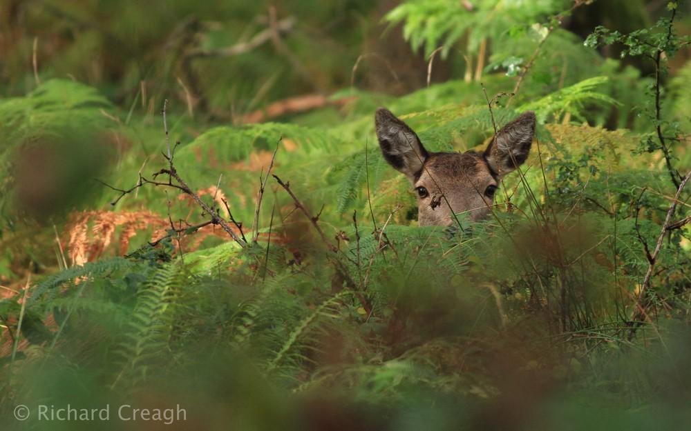 Hind Hiding - Wild