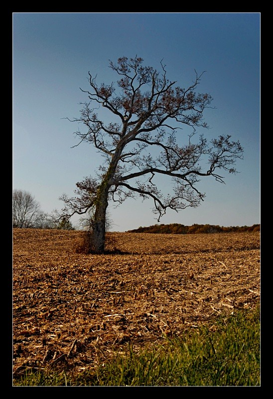 Cornfield Tree - Landscapes
