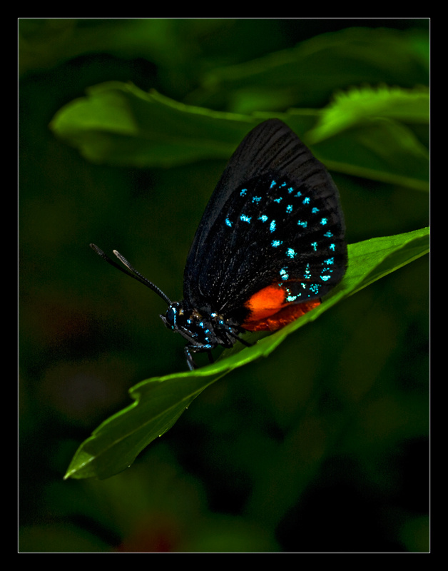 Atala Butterfly - Nature