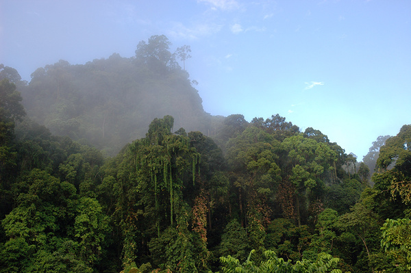 Lush tropical rainforest. - Malaysian Borneo.