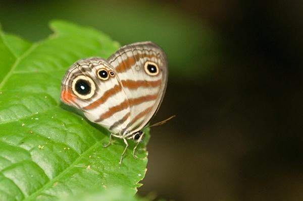 Striped butterfly - Costa Rica