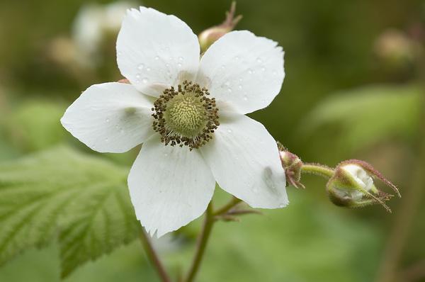 Thimbleberry. - Canada