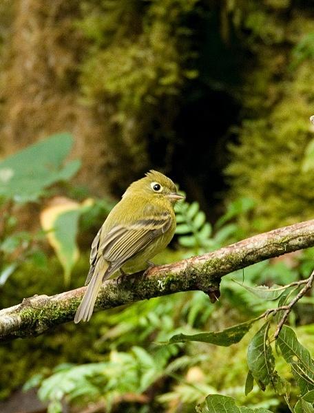 Yellowish Flycatcher - Costa Rica
