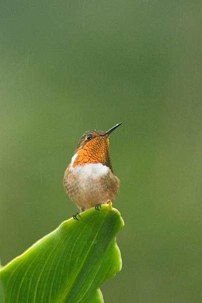 Scintillant Hummingbird - Costa Rica