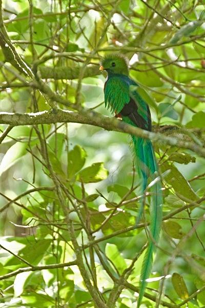 Resplendent Quetzal - Costa Rica