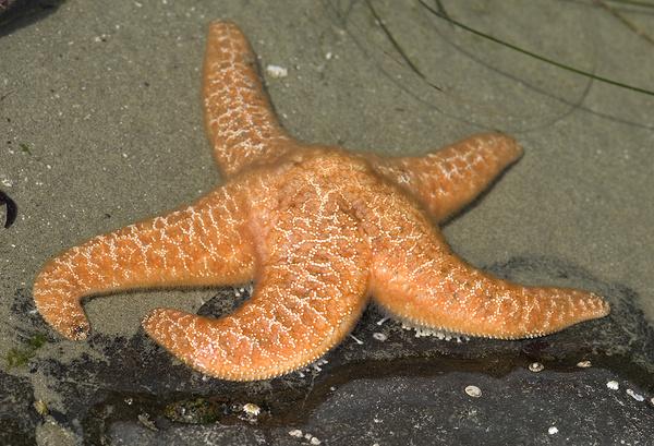 Colorful starfish - Canada