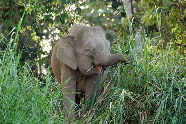 Bornean pygmy elephant having a laugh...