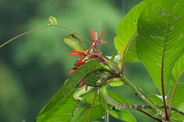 Green Iguana in the rain - Costa Rica