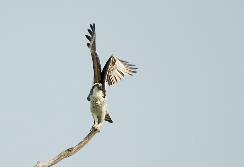 Osprey starting to fly - Pristine Pantanal, Brasil