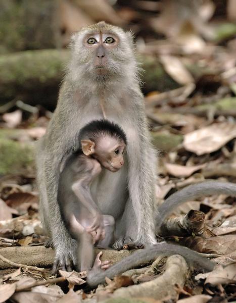 Long tail macaque family. - Malaysian Borneo.