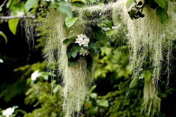 Spanish moss - Canada
