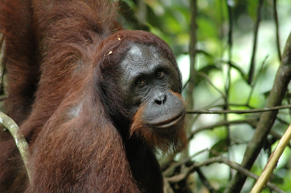 Orangutan close-up. - Malaysian Borneo.