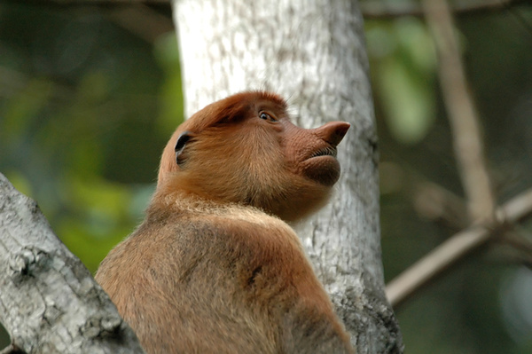 With her nose in the air. - Malaysian Borneo.
