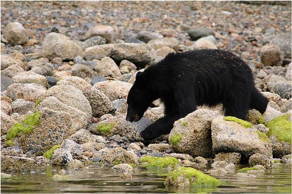 Black bear on the beach - Canada
