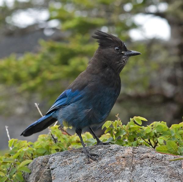 Steller's Jay - Canada