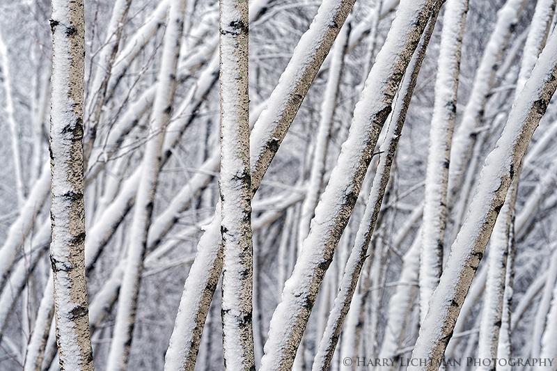 Birch Maze - New Hampshire Seacoast