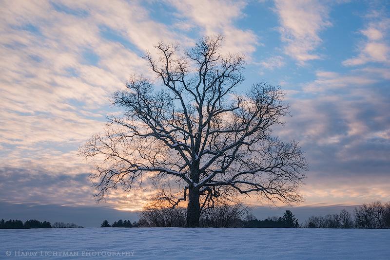 Winter Oak - New Hampshire Seacoast