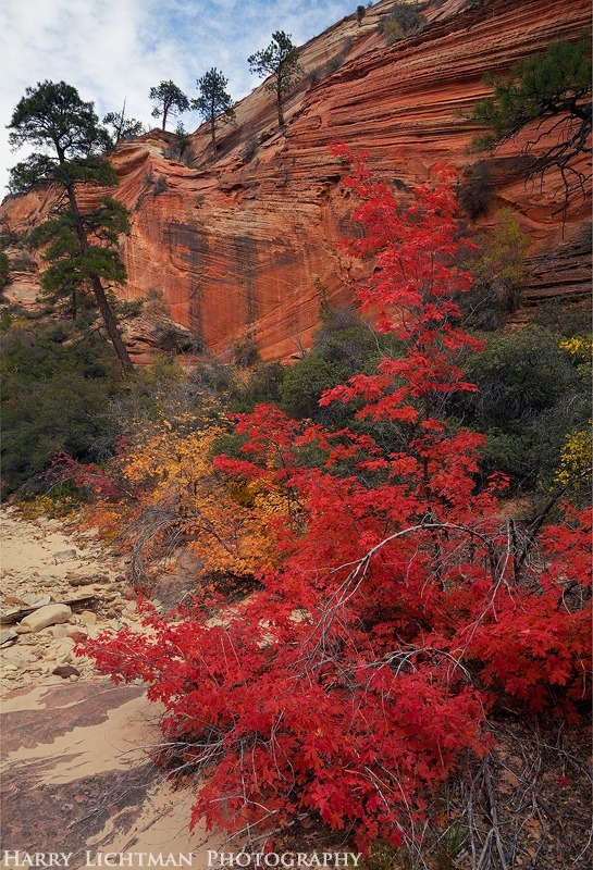 Maple Madness - Zion National Park
