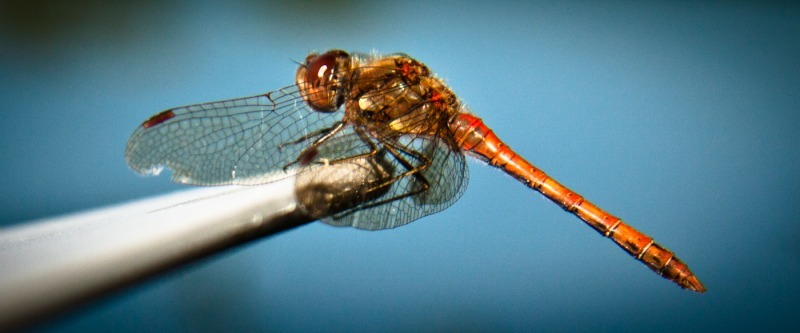 Dragonfly-8815 - Wildlife