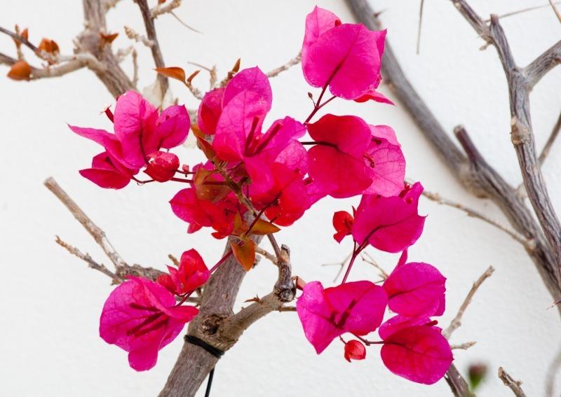 portugese pink-9056 - Plants / Flora