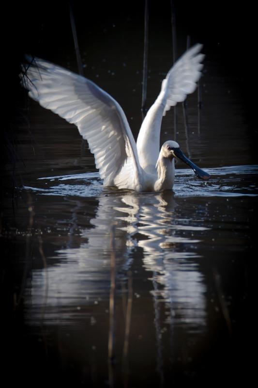 Spoonbill - Big waders etc: Crane, Storks, Bustards, Ibises and Herons.