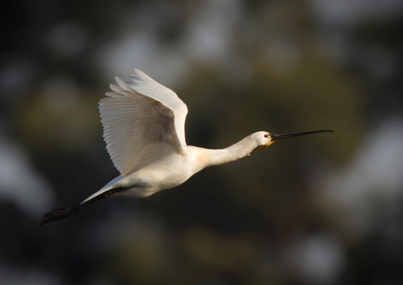 Spoonbill-4 - Big waders etc: Crane, Storks, Bustards, Ibises and Herons.