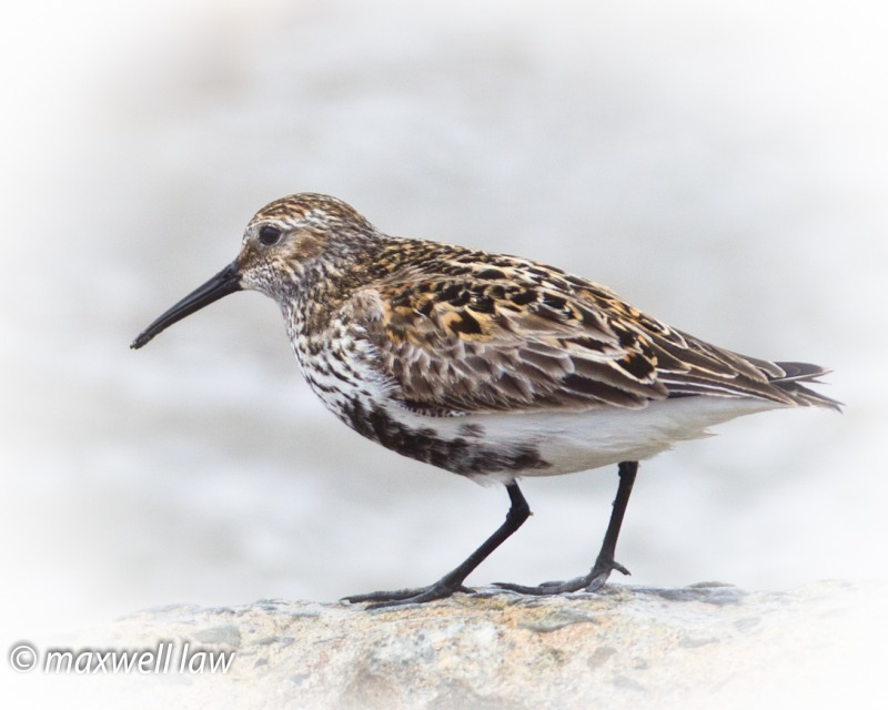 Dunlin 7-1387 - Water Margins: Waders, Rails, Crakes, Reedling, Dipper and Kingfisher.