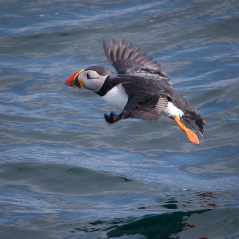 Puffin 2 - Seabirds: Gulls, Skuas, Terns, Gannets, Cormorants and Auks