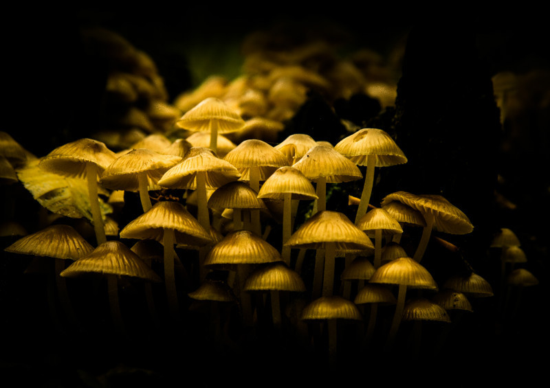 Mycena fagetorum - Plants / Flora